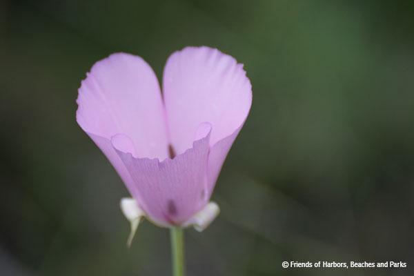 Catalina Mariposa Lily